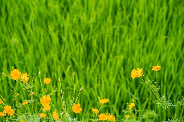 田んぼの背景にメキシコのアスターの花。