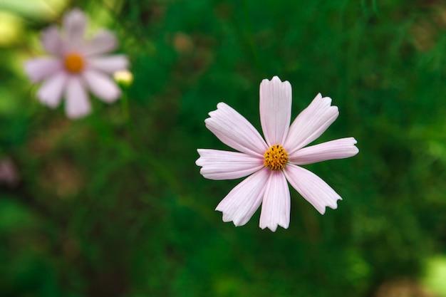 庭のメキシコのアスターピンクの花