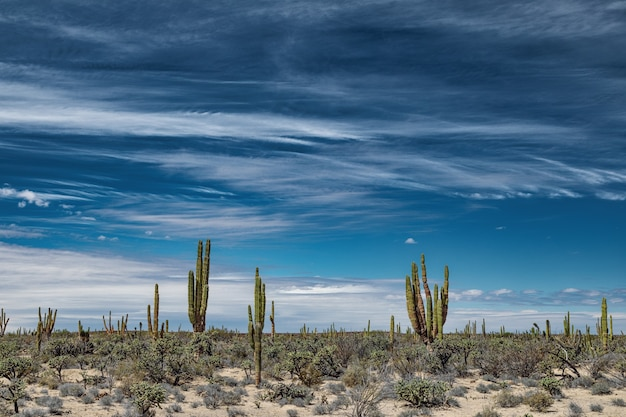 Mexican desert with cacti and succulents under fascinating sky at san ignacio, baja california, mexico