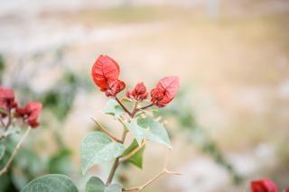 メキシコの植物相赤