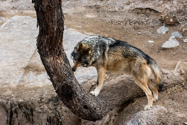 Mexican grey wolf checking out scent markings on a tree