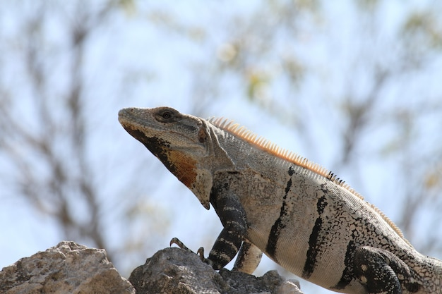 Mexican iguana under the sun