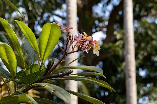 Mexican plumeria plant of the species plumeria rubra