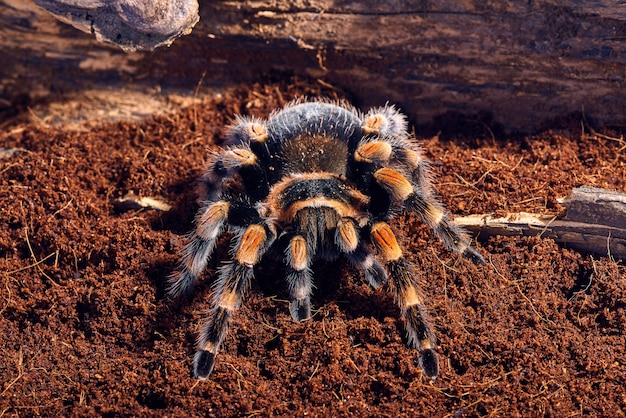 Mexican red knee tarantula