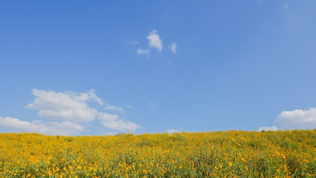 Mexican sunflower blue sky at mae moh district, lampang province, thailand