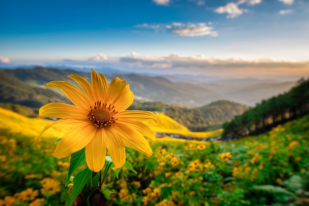 Mexican sunflower ( tung bua tong flower) on blue sky at daytime in mae hong son province, thailand.