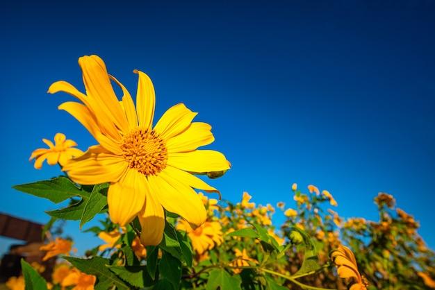 Мексиканский подсолнечник (цветок tung bua tong) на голубом небе в дневное время в провинции мэхонгсон, таиланд.