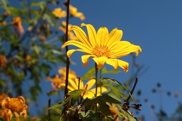 Mexican sunflower weed bloom in november of each year at doi mae u neck.
