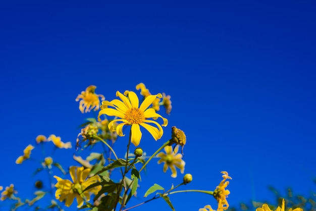 Mexican sunflower with blue sky background.
