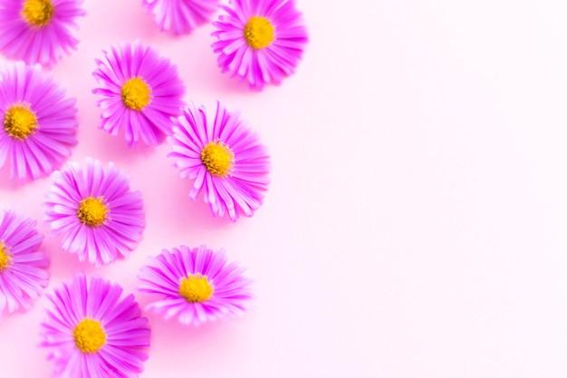 Бутоны ромашки михаила на розовом