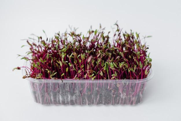 マイクログリーンのビートは、土の入った鉢の白い背景にクローズアップを芽生えます。健康的な食事とライフスタイル。