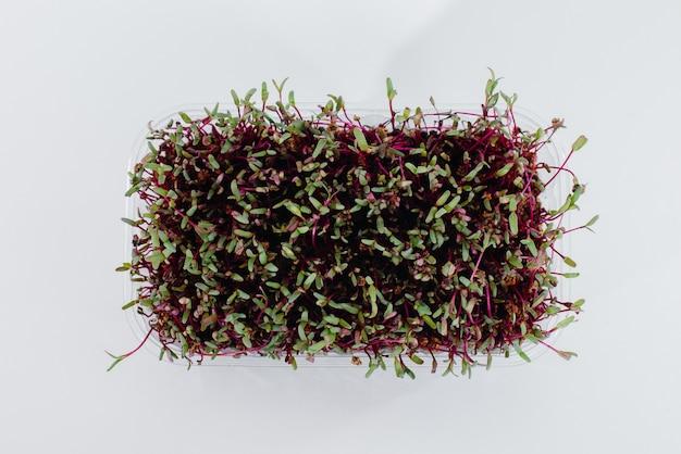 土が付いている鍋の白い表面のマイクロ緑のビートのクローズアップ。健康食品とライフスタイル。
