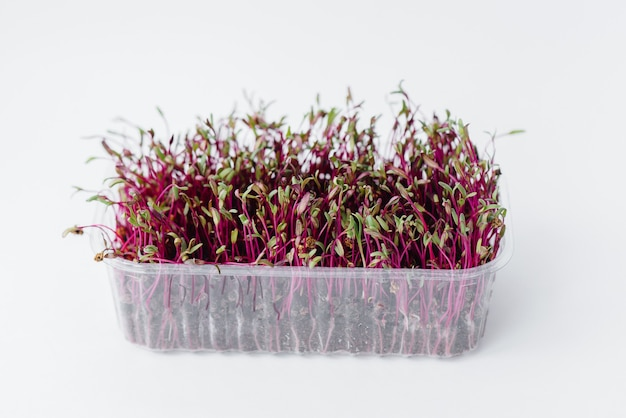 Micro-green beet sprouts close-up on a white background in a pot with soil. healthy food and lifestyle.