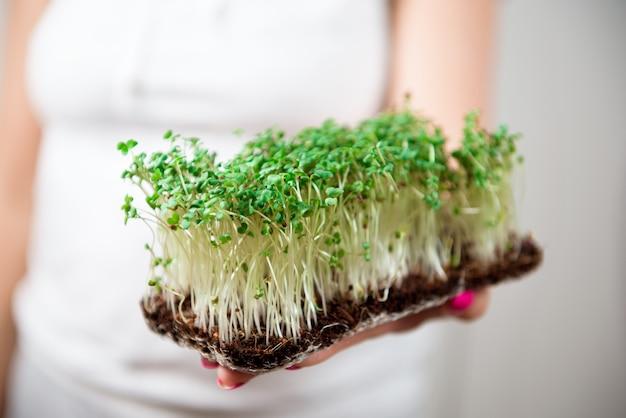 Микро-зеленая здоровая пища и зелень травы. проращивание микрозелени.