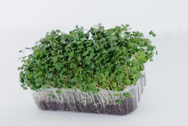 흙이 있는 냄비에 흰색 배경에 미세 녹색 겨자 콩나물 클로즈업. 건강한 음식과 생활 방식.