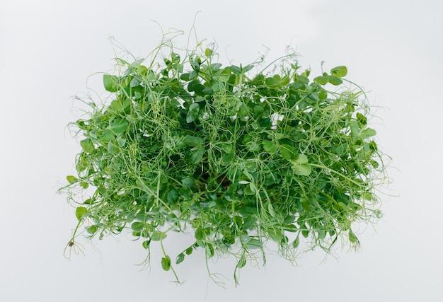 土の入った鉢の白い背景にマイクログリーンの豆苗のクローズアップ。健康的な食事とライフスタイル。