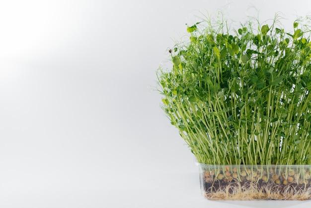 Ростки микро-зеленого горошка крупным планом на белой поверхности в горшке с почвой. здоровое питание и образ жизни.