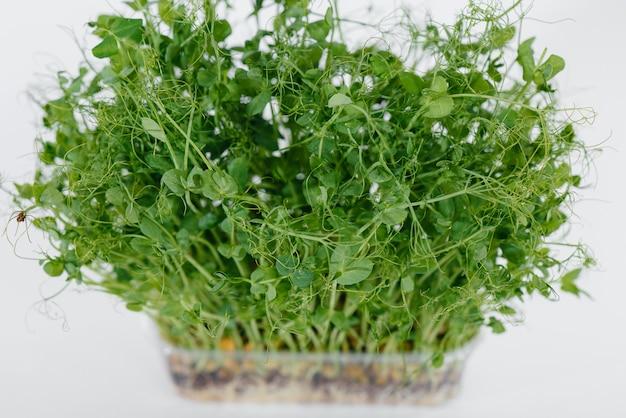 Ростки микро-зеленого горошка крупным планом на белой стене в горшке с почвой. здоровое питание и образ жизни.