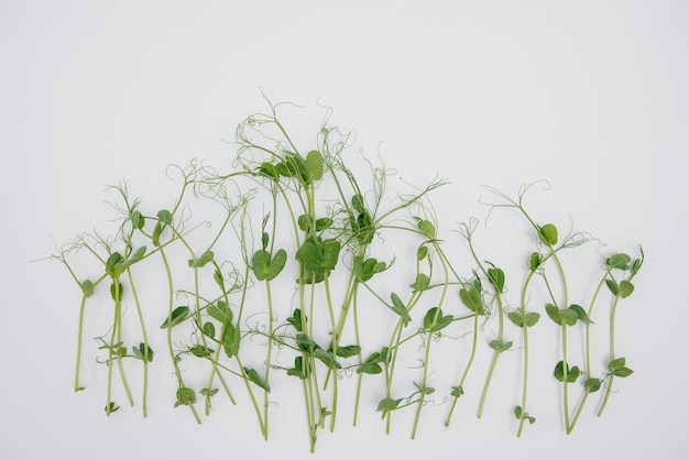 Micro-green sprouts close-up on a white background with free space. healthy food and lifestyle.