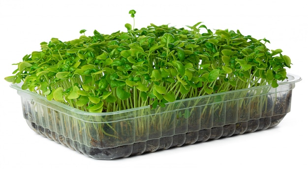 Micro green sprouts of sunflower isolated on white