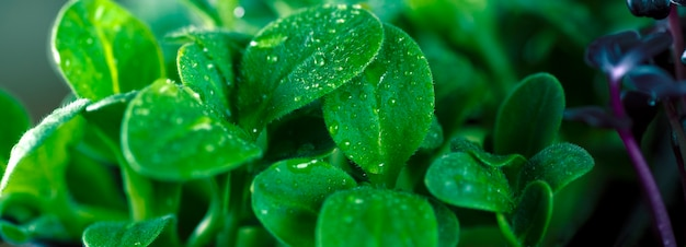 마이크로 녹색 해바라기는 태양 눈부심으로 닫습니다.
