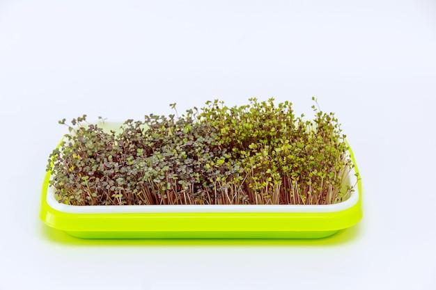 플라스틱 용기에 집에서 자란 흰색 배경에 밝은 녹색 트레이에 있는 마이크로 그린. 작은 집 정원