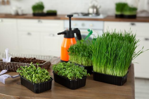 台所のテーブルの上のマイクログリーンはすぐに食べられます。健康食品、菜食主義。