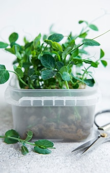 Micro greens sprouted peas seeds  sprouting microgreens