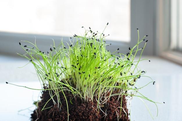 집에서 자라는 양파의 마이크로 채소 새싹