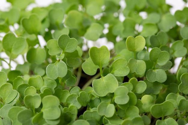 마이크로그린 아루굴라 식물은 완전채식 개념과 건강한 음식 싹이 튼 아루굴라 씨앗 미세상추