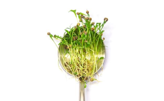 Microgreen 고수풀 흰색 배경에 격리합니다. 선택적 초점. 음식.