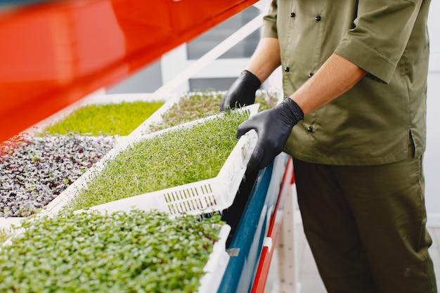 Microgreen 커런덤 고수풀은 남성의 손에 싹이납니다. 생 콩나물, 마이크로 그린, 건강한 식생활 개념.