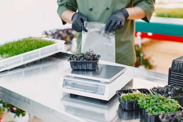 Microgreen corundum coriander sprouts in male hands. raw sprouts, microgreens, healthy eating concept. man packs in boxes.