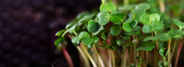 Microgreen 단풍 배경입니다. 6일 무우 마이크로그린의 클로즈업. 집에서 씨앗 발아. 채식주의 및 건강 식품 개념입니다. 유기농 식물의 고품질 종자에서 얻은 무 새싹.