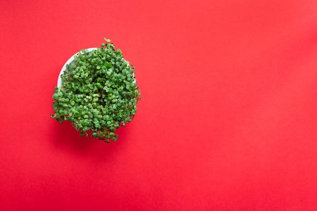 Microgreen 겨자 또는 무 허브 녹색 꽃잎 적절한 영양 식단