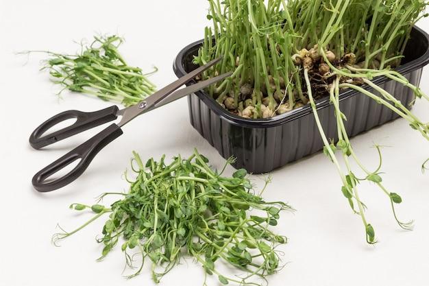 검은 색 플라스틱 용기에 microgreen 완두콩 콩나물. 컨테이너에 가위. 테이블에 콩나물을 자릅니다. 흰 바탕. 평면도