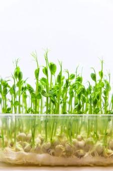 Проростки гороха микрозелени изолировать на белом фоне. выборочный фокус. природа.
