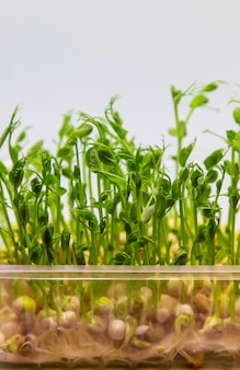 Microgreen pea sprouts isolate on a white background. selective focus. nature.
