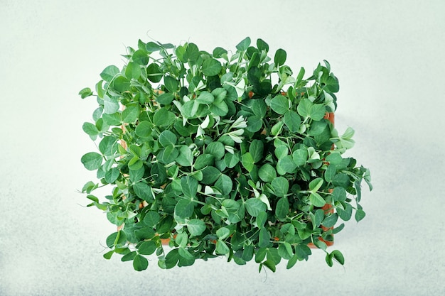 Microgreen peas. top view. concept of home gardening and growing greenery indoors