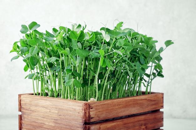 Microgreen peas in wooden box