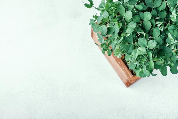 Microgreen peas in wooden box .