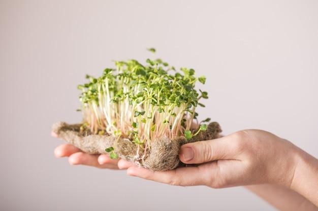 Ростки микрозелени редиса в женских руках. концепция веганского и здорового питания.