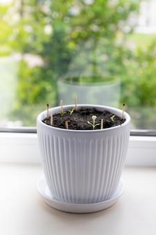 Microgreen салат ростки в белой керамической кастрюле копией пространства. органическая пища и правильное питание