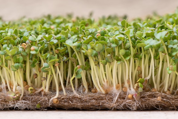 Microgreen. sprouted mustard seeds on linen mat close up