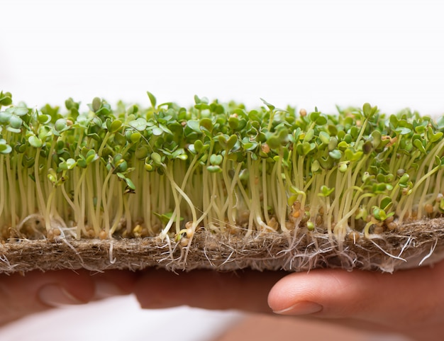 Microgreen. sprouted mustard seeds on linen mat in female hands.