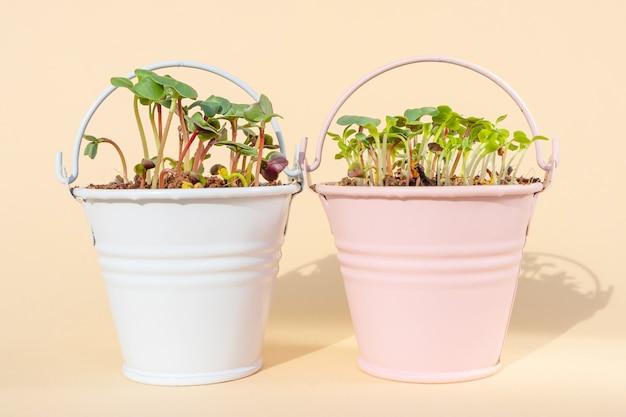 Microgreen прорастания крупным планом. зелень в декоративных ведерках. прорастание семян в домашних условиях. детальное макро фото. веганские и здорового питания концепции. выращивание ростков, супер-пупер.