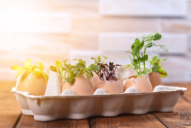 Microgreen sprouts in eggshells in a cardboard tray. easter decorations. easter egg. stylish rural still life. zero waste concept