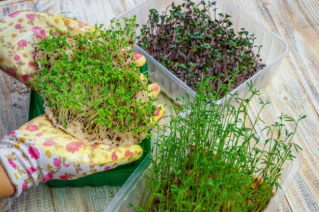 Microgreen sprouts in hands