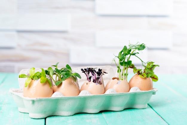 나무 식탁에 있는 판지 쟁반에 달걀 껍질에 있는 마이크로그린 새싹. 제로 웨이스트 개념.