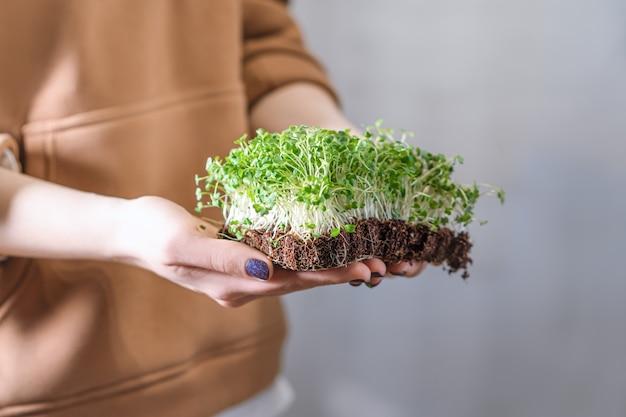 女性の手のマイクログリーンの芽。生の芽、マイクログリーン、健康的な食事のコンセプト。女性はマイクログリーンの芽を保持します。